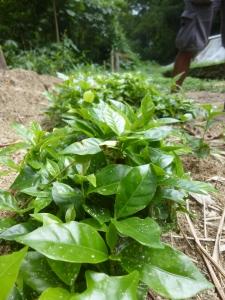 Pequeñas Plantas de Café