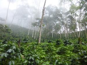 La plantación de café.